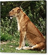 Lioness On The Masai Mara  Acrylic Print