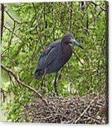 Little Blue Heron Nesting Texas Acrylic Print