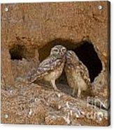Little Owl Athene Noctua Acrylic Print