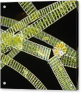 Lm Of The Colonial Diatom Fragillaria Sp. Acrylic Print by Power And Syred