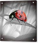 Lone Ladybug Acrylic Print