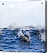 Long-beaked Common Dolphins Acrylic Print