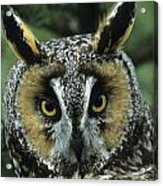 Long-eared Owl Up Close Acrylic Print