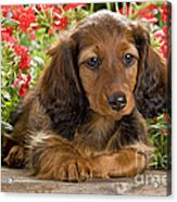 Long-haired Dachshund Acrylic Print