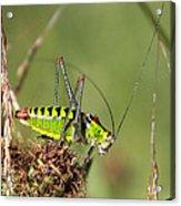 Long-horned Katydid Tettigonid Acrylic Print