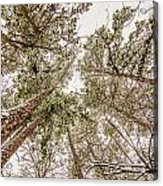 Looking Up At Snow Covered Tree Tops Acrylic Print