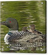 Loon Parent With Two Chicks Acrylic Print
