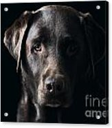 Low Key Chocolate Labrador Acrylic Print