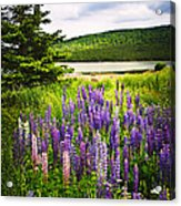 Lupin Flowers In Newfoundland Acrylic Print by Elena Elisseeva