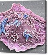 Macrophage Engulfing Tb Bacteria, Sem Acrylic Print