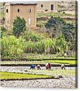 Madagascan Paddyfield Acrylic Print