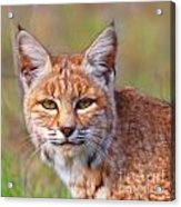 Magical Bobcat Acrylic Print