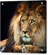 Magnificent Lion Acrylic Print