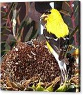 Male American Goldfinch Acrylic Print