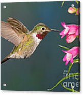 Male Broad-tailed Hummingbird Acrylic Print