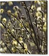 male catkins of willow species in the National Park Dwingelderveld Netherlands Acrylic Print