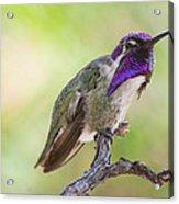 Male Costa Hummingbird Acrylic Print