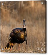 Male Eastern Wild Turkey Acrylic Print