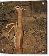 Male Gerenuk Acrylic Print