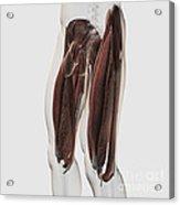 Male Muscle Anatomy Of The Human Legs Acrylic Print