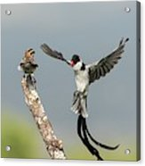 Male Pin-tailed Whydah In Mating Display Acrylic Print