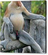 Male Proboscis Monkey Acrylic Print