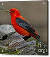 Male Scarlet Tanager Acrylic Print
