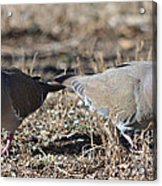 Male White Wing Doves Acrylic Print
