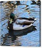 Mallard Drake Duck Acrylic Print