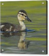 Mallard Duck Swimming In Marsh Pond Acrylic Print