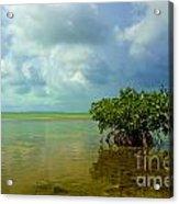 Mangrove Acrylic Print