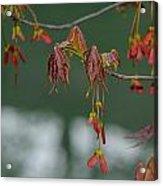 Maple Red Samaras Acrylic Print