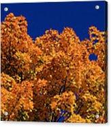 Maple Tree In Autumn Acrylic Print
