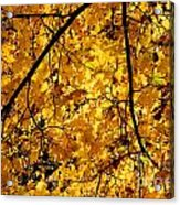 Maple Tree In Yellow Fall Colors Acrylic Print