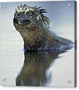Marine Iguana Galapagos Islands Acrylic Print