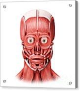 Medical Illustration Of Male Facial Acrylic Print