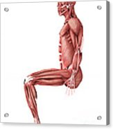 Medical Illustration Of Male Muscles Acrylic Print