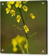 Mello Yellow Acrylic Print