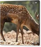 Mesopotamian Fallow Deer 2 Acrylic Print