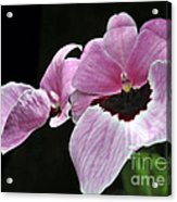 Miltoniopsis Alger Acrylic Print