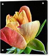 Minature Rose  Acrylic Print