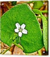 Miner's Lettuce In Park Sierra Near Coarsegold-california  Acrylic Print