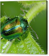 Mint Beetle Acrylic Print