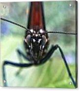 Monarch Stare Acrylic Print