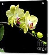 Moon's Orchid  Acrylic Print