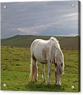 Moorland Pony, Davidstow, Bodmin Moor Acrylic Print