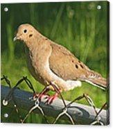 Morning Dove I Acrylic Print