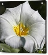 Morning Glory Named White Ensign Acrylic Print