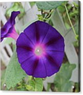 Morning Glory Acrylic Print by Victoria Sheldon