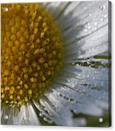 Mornings Dew Acrylic Print